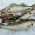 Ловля судака зимой: снасти и тактика ловли