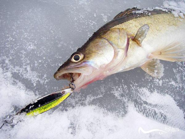 Как ловить судака на белесну зимой