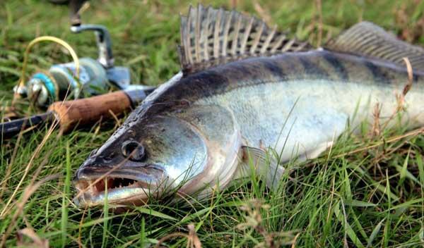 Охота на судака с помощью отводного поводка