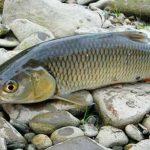 Выбор и применение спиннинга для ловли голавля в различных водоемах