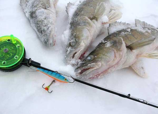 Трофей зимней рыбалки - судак